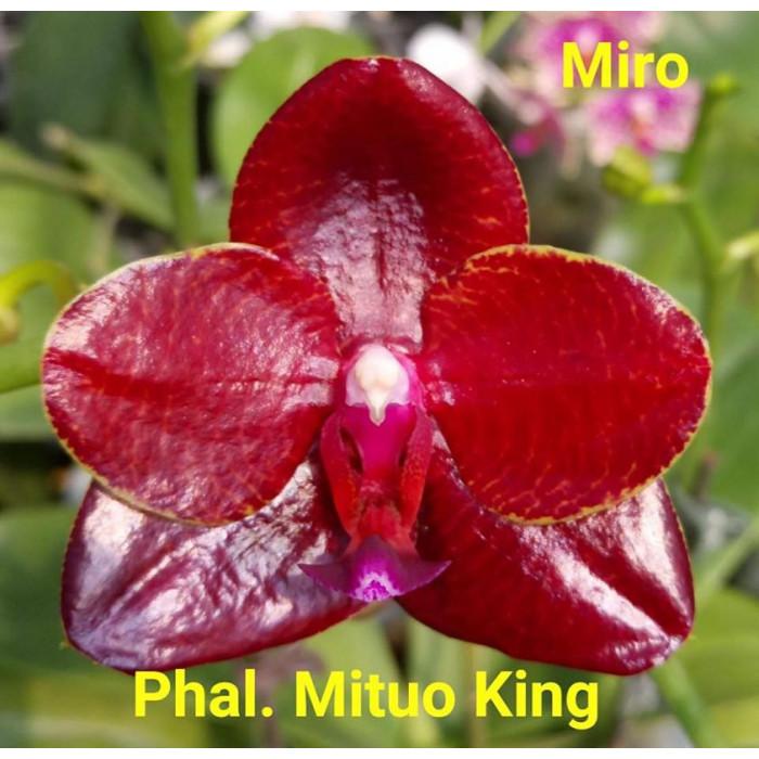 Фаленопсис (Mituo King Miro)