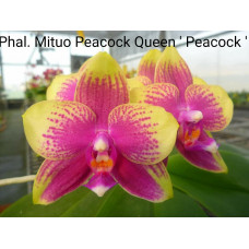Phal. Mituo Peacock Queen