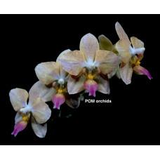 Phal. Mituo Shin Perfume x Stuartiana Yellow