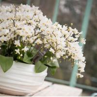 Phal. Multi Willd White