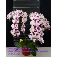 Phal. Nankungs 4.55 PM × (Phal. Yu Pin Easter Island × Amabilis)