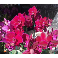 Phal. OX Black Face 1647