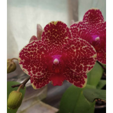 Phal. OX Red Sesame 1,7