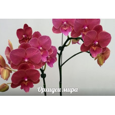 Phal. OX Sunkist big lip уценка