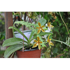 Phal. Pantherina 2,5
