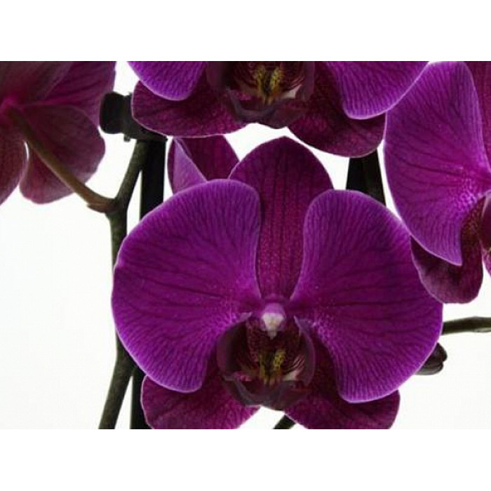 Phal. Party Time