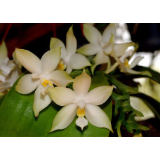 Phal. Penang Violacea var. alba 1,7