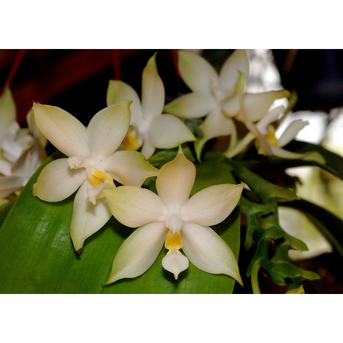 Phal. Penang Violacea var. alba уценка
