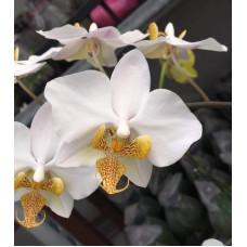 Phal. Philippinensis x Schilleriana