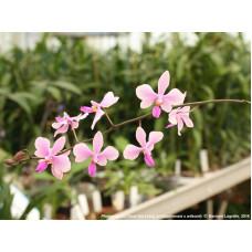 Phal. Philippinensis x Wilsonii