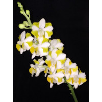 Phal. Pulcherrima 4N Yellow