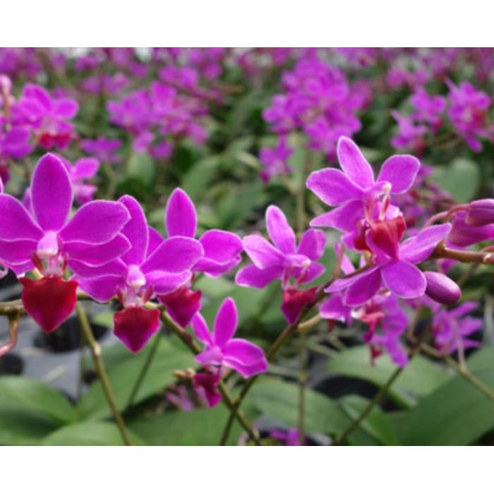 Phal. Purple Gem