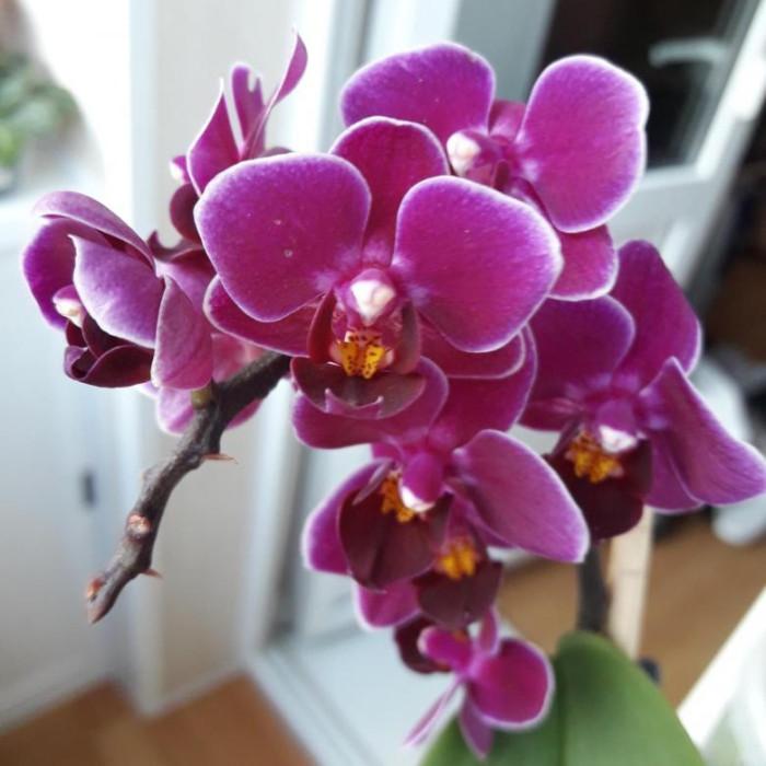 Фаленопсис (Purple Princess)