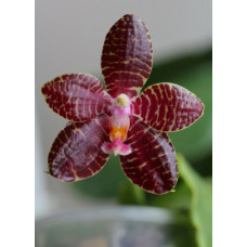 Phal. Red Jaguar 1,7