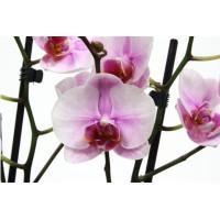 Phal. Sakura Heimei