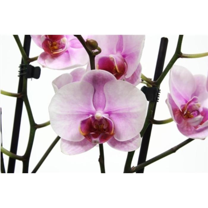 Фаленопсис Сакура Хеймей (Sakura Heimei)