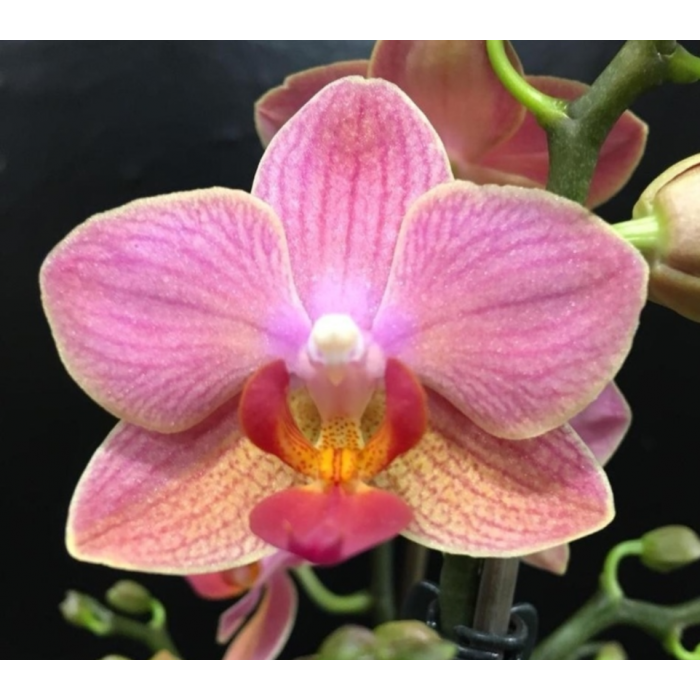 Фаленопсис (Santa Rosa)