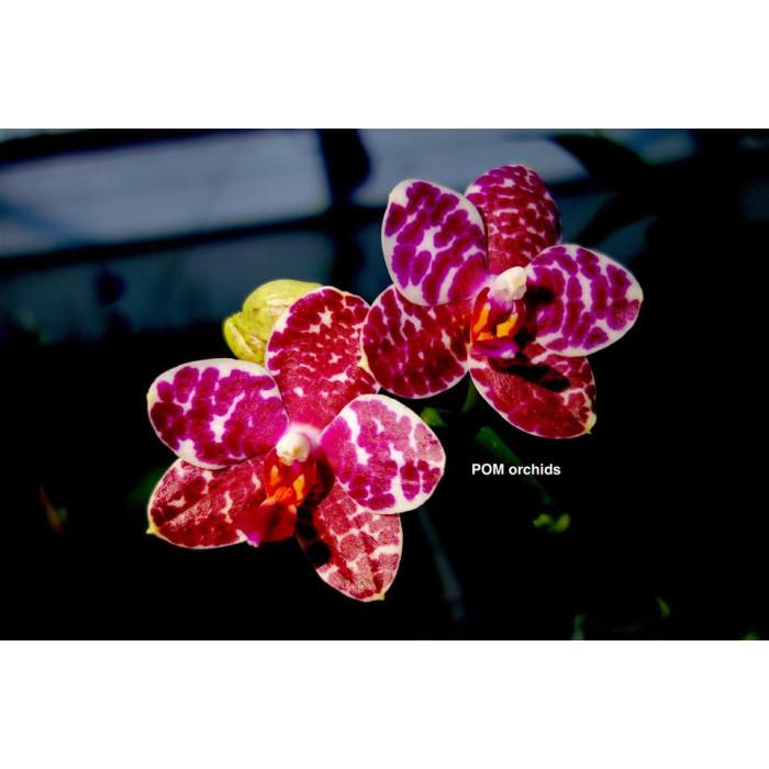 Phal. Sogo Lobby × Haur Jin Diamond