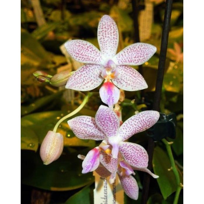 Фаленопсис (Speciosa x Lindenii)