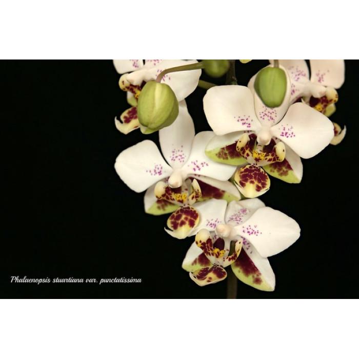 Фаленопсис (Stuartiana Punctatissima)