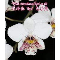 Phal. Stuartiana Tipo × sib