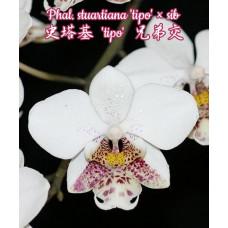 Phal. Stuartiana Tipo × sib 1,7