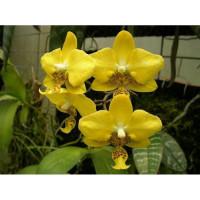 Phal. Stuartiana Yellow x sib