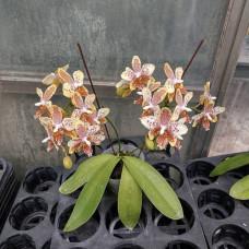 Phal. Stuartiana var. Nobilis × Tetraspis Green