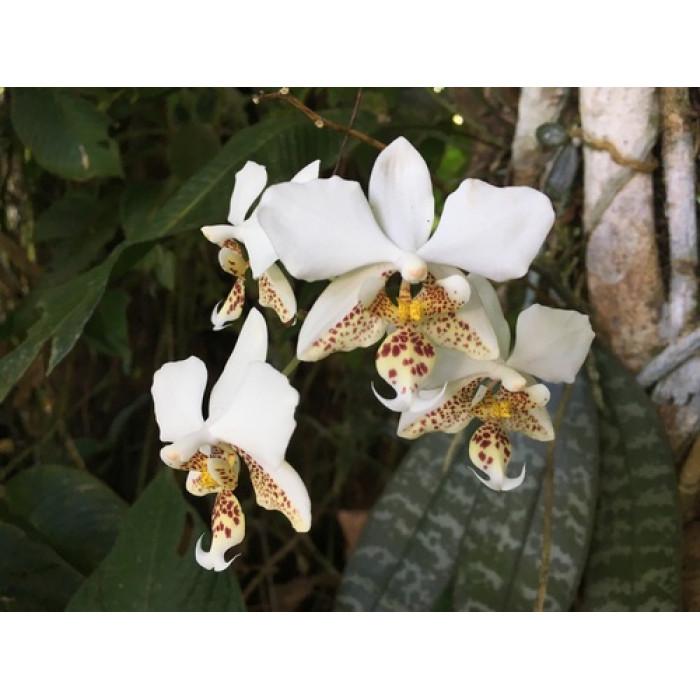 Фаленопсис (Stuartiana)