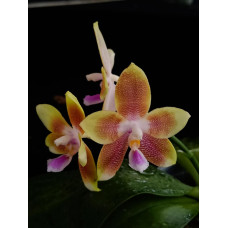 Phal. Tying Shin Fly Eagle x KS Happy Eagle