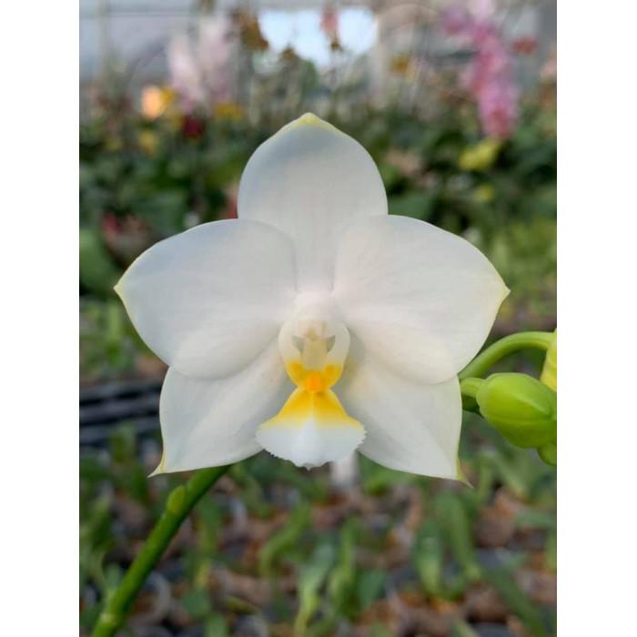 Phal. Tzu Chiang Chrisna Yellow Lip
