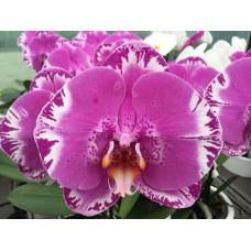 Phal. OX King x Fullers Purple Queen grandiflora