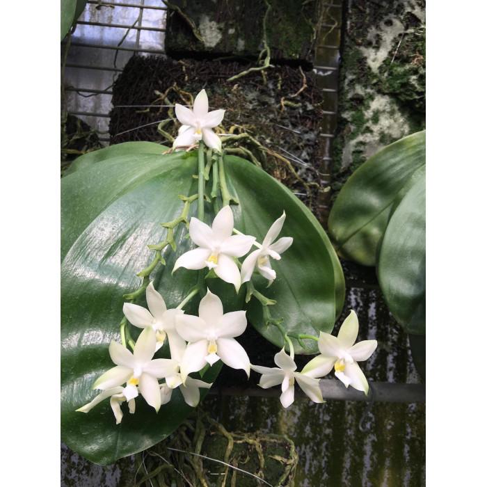 Phal. Violacea Alba