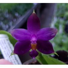 Phal. Violacea Magenta WU x Violacea Norton