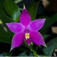 Phal. Violacea Sumatrana