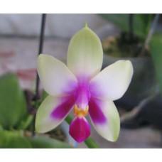 Phal. Violacea YC