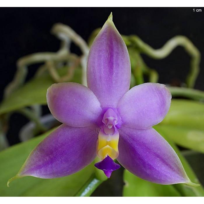Phal. Violacea var. coerulea