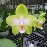 Phal. Violgoid Green 3,5