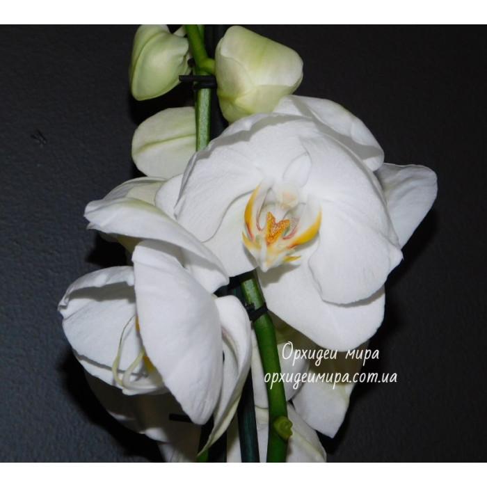 Phal. White бабочка №199