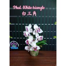 Phal. White Triangle пелорик