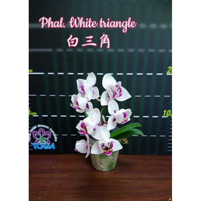 Phal. White Triangle peloric