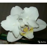Phal. White hybrid бабочка