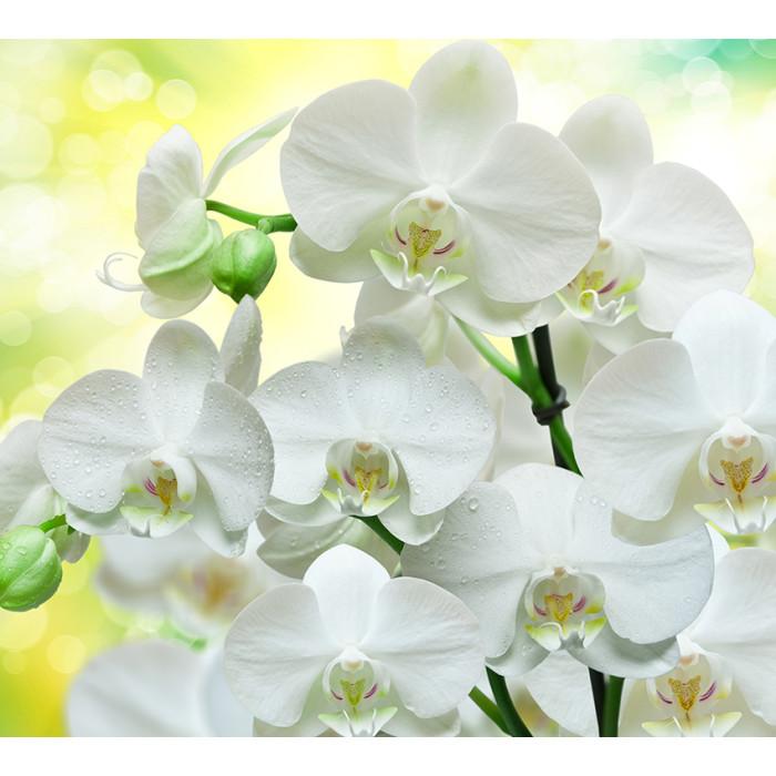 Фаленопсис Вайт (White)