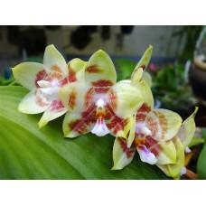 Phal. Yaphon Gelacea CL#01 1,7