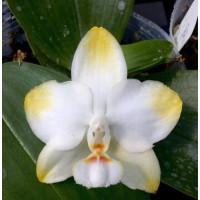 Phal. Yaphon Golden × Yungho Gelblitz