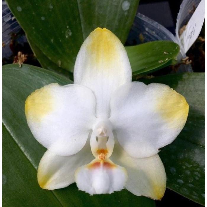 Фаленопсис (Yaphon Golden × Yungho Gelblitz)