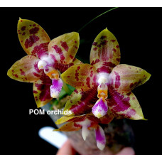 Phal. Yaphon Goodboy x LDs Bear King