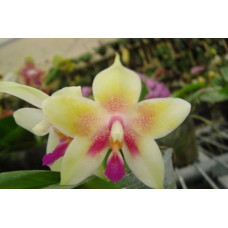 Phal. Yaphon Oh Mygod Yellow Type