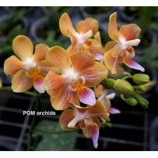 Phal. Yaphon Perfume x Celebensis
