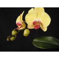 Phal. Yellow Beauty